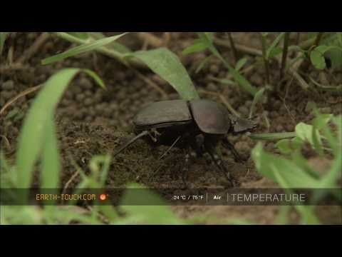 Dung beetles do battle over elephant droppings