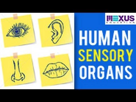 Human Sensory Organs - Ears, Nose and Tongue