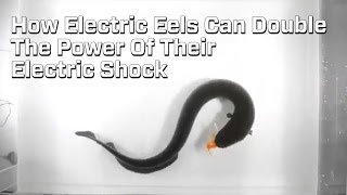 How Electric Eel's Double Their Shock Power