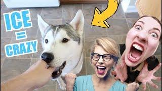 2 Huskies GO CRAZY On Thanksgiving! (Happy Howlidays!)