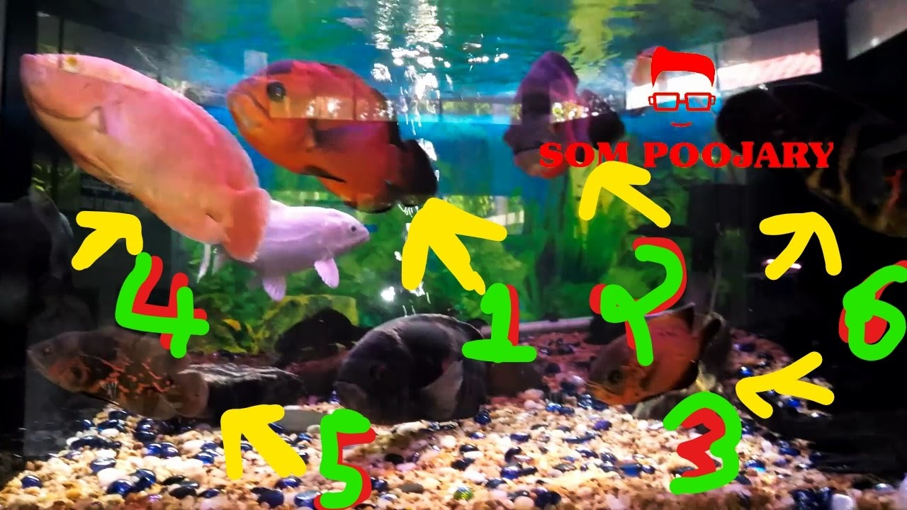 oscar fish different types and colors youtube