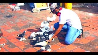 Very well Trained pigeons Listen to their owner