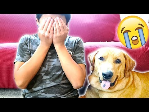 Labrador Retriever Cute And Funny Dog Reaction To Me Crying! Crying (PRANK)!!.. [CUTEST THING EVER]