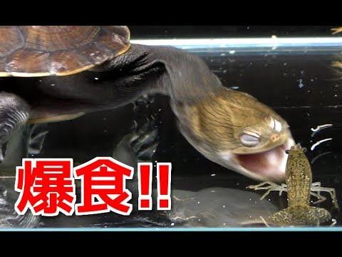 腹ペコの亀に大量のザリガニを与えたら凄過ぎた!!