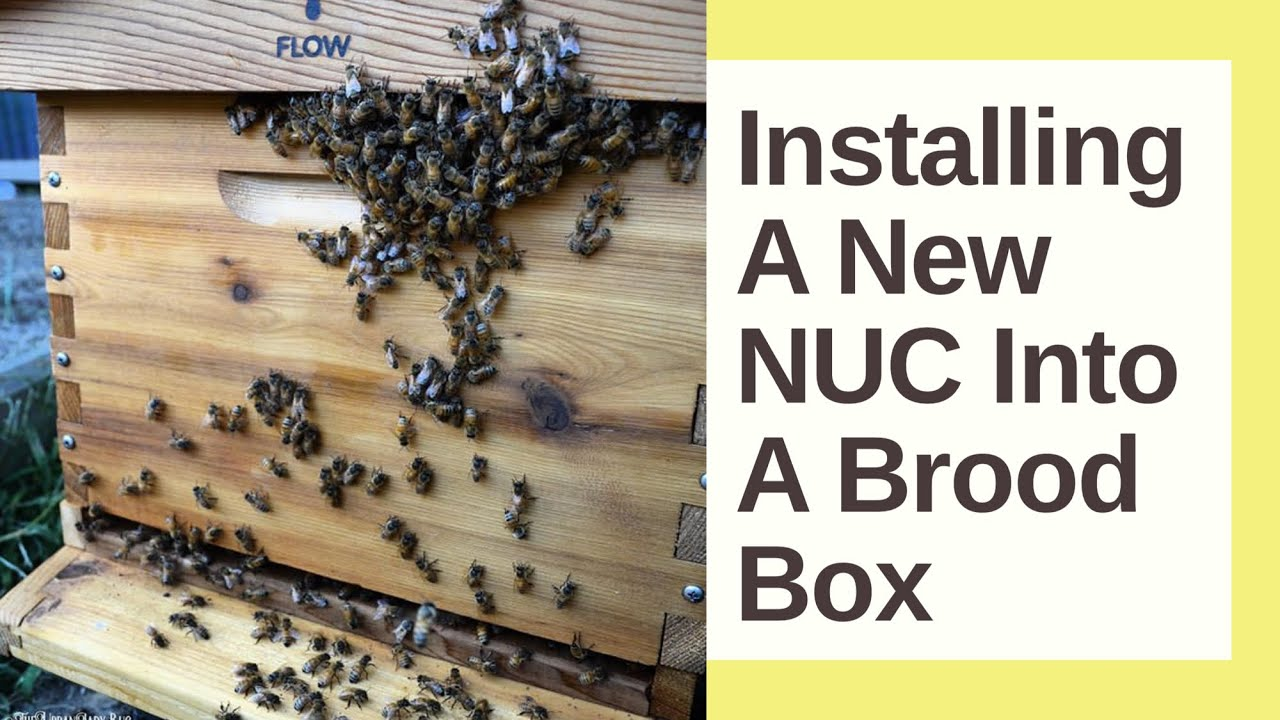 installing a 4 frame bee nuc into a langstroth hive backyard