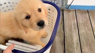 外の世界を知らない子犬が、初めて降り立ちます。ゴールデンレトリバーびすけ(生後53日)