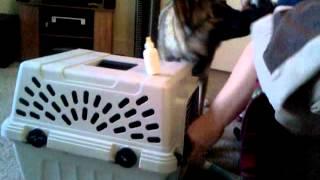 German Shepherd Puppy Caring For Newborn Kittens!