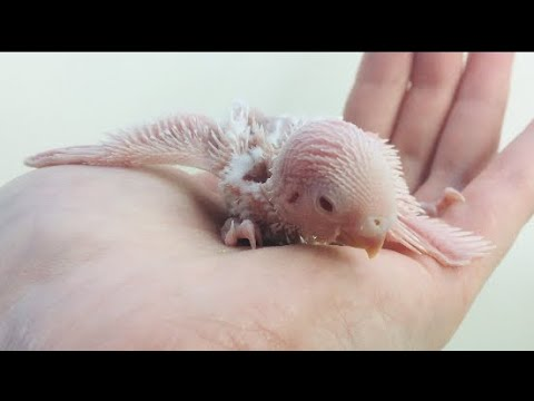 У каких волнистых попугаев рождаются альбиносы