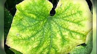 чтобы листья огурцов не желтели(, 2016-06-06T03:52:44.000Z)