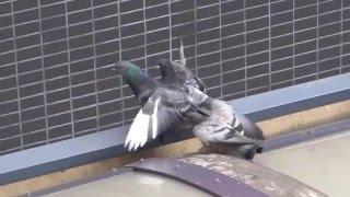 鴿餵飼幼鳥 Pigeon feeding young birds