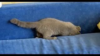 Британский котенок, бесилки на диване