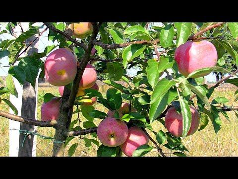 Яблоки в моём саду 2020