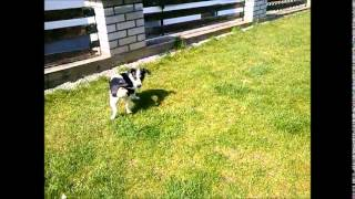 Jack Russell Terrier chasing his Tail