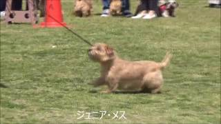 BOB ノーフォークテリア(26) ベビー・メス ECHOS M. JP PRINCESS(沖 ...