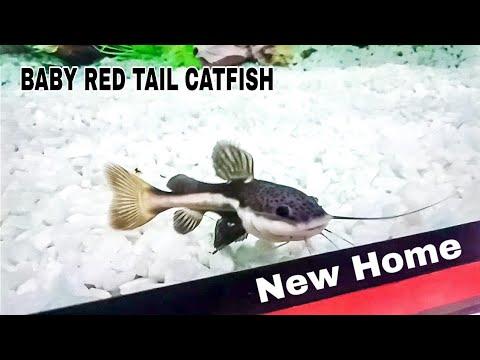 Red Tail Catfish Got New Tank