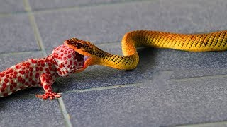 Snake Attacks Lizard To  Death - Survive In Nature thumbnail