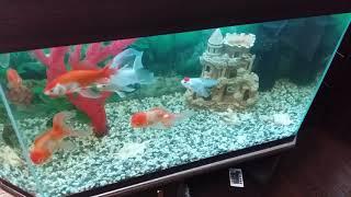 Почему чернеют золотые рыбки в аквариуме