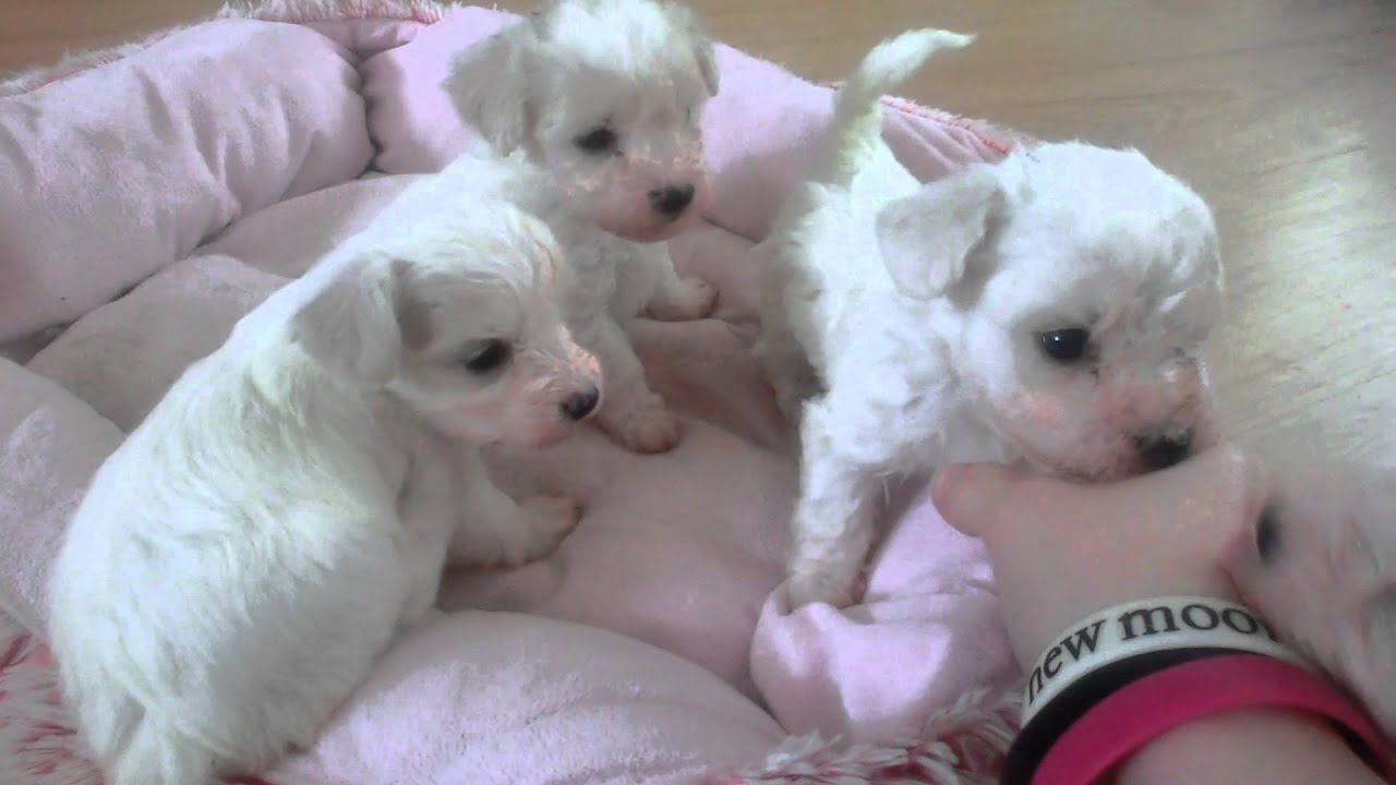 Bichon Frisée X Bolognese Puppies Maltese 4 Weeks Old Youtube