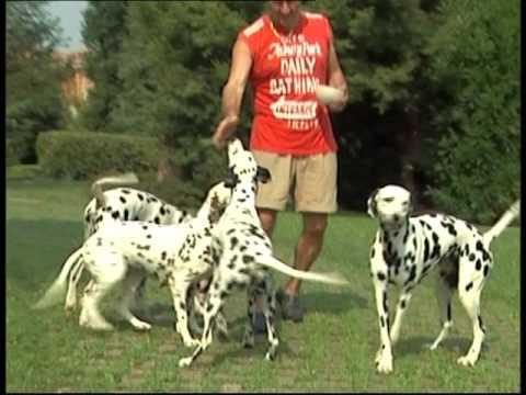 The Dalmatian - Pet Dog Documentary English