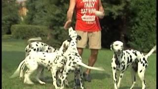 The Dalmatian  Pet Dog Documentary English