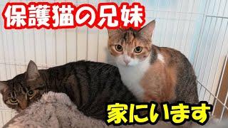 家で飼ってる保護猫の紹介です ノラ猫だった兄妹を引き取って一緒に暮らしてます チャンネル登録はこちら http://www.youtube.com/channel/UC26y015UukkXR4Nph...
