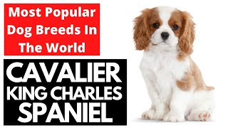 Cavalier King Charles Spaniel | Most Popular Dog Breeds In The World Series!!