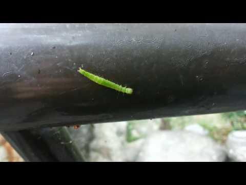 Larva of Homona magnanima Diaknoff / Tea tortrix 捲葉蛾幼蟲