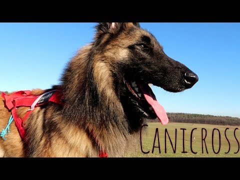 Canicross Training | Belgian Shepherd Tervuren