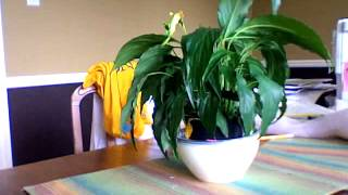 Plant Perking Up (spathiphyllum)