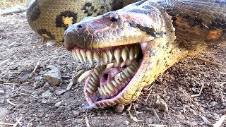 Anaconda uses Bizarre TEETH FOR CHEWING--Catches Chicken