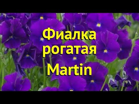 Виола рогатая Мартин. Краткий обзор, описание характеристик, где купить саженцы viola cornuta Martin