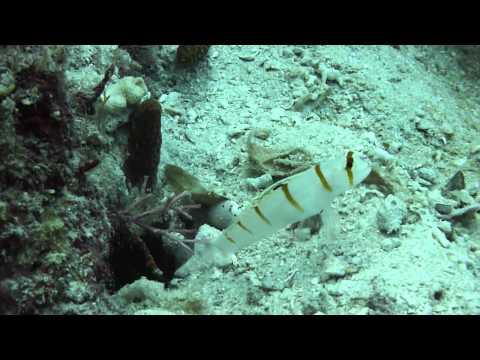 Gobie Amblyeleotris randalli et sa crevette Alpheus sp.