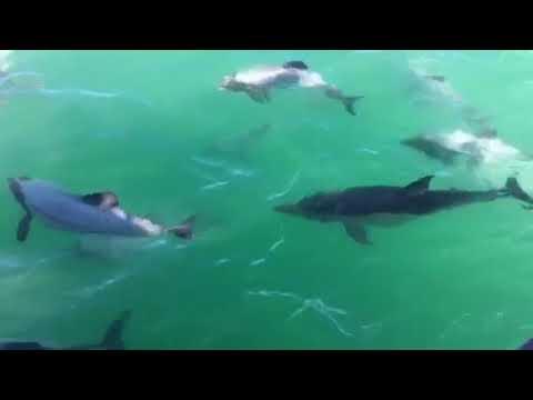 Short-beaked common dolphin in Akaroa Harbour (Video: Black Cat Cruises)