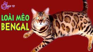 Đặc điểm của giống mèo Bengal – Mèo hổ vằn – Một trong những loài mèo đắt nhất thế giới