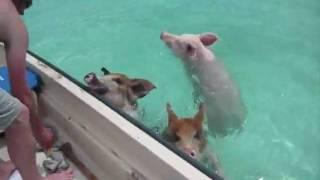 attaque de cochons aquatiques