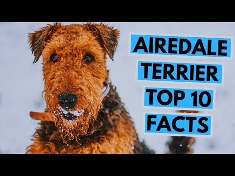 Airedale Terrier - TOP 10 Interesting Facts