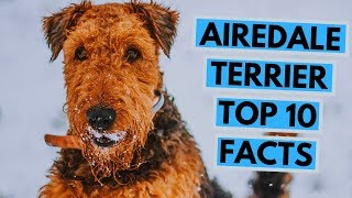 Airedale Terrier  TOP 10 Interesting Facts