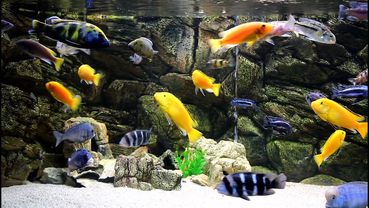 african cichlids malawi aquarium 700 l 1080p hd youtube. Black Bedroom Furniture Sets. Home Design Ideas
