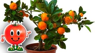 Мандарины из косточки - пикировка | Как вырастить мандарины дома