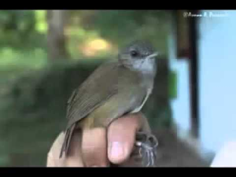 Suara Burung Campeor atau Pelanduk Semak Suara Burung Mp3