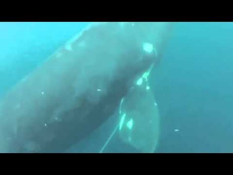 Fishermen save whale trapped in netting line