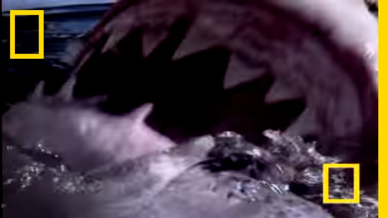Great White Shark | National Geographic