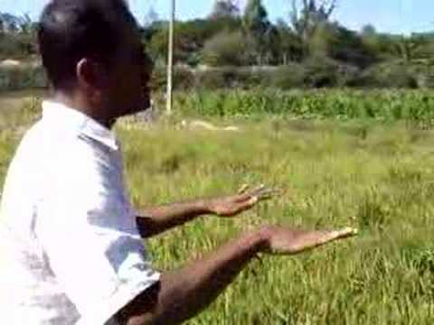Aerobic rice - Water efficient and productive