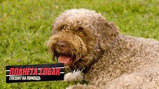 Планета собак спешит на помощь  Лаготто романьоло