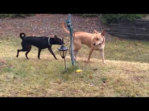 MEET OF TWO WILD DOGS. Carolina Dog, American Dingo And Formosan Mountain Dog