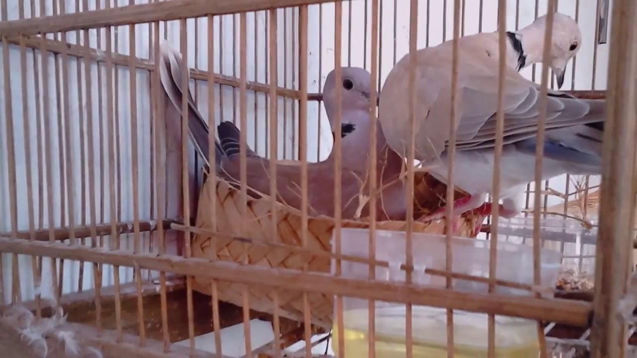Burung Puter Membuat Sarang #3 - YouTube