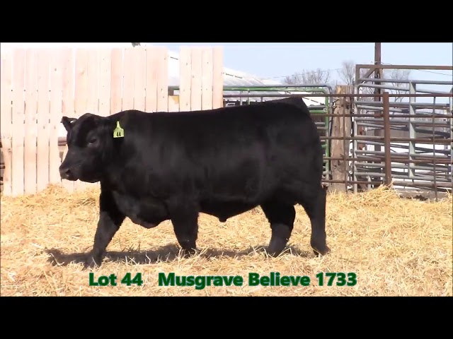 Musgrave Angus Lot 44