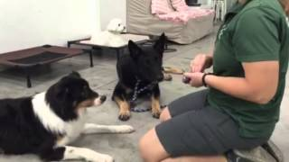 Redirected Aggression - Clicker Training Protocol