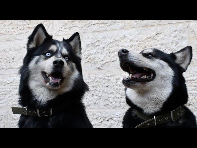 الفرق بين كلب الهسكي السيبيري وكلب الملموت الاصلي مع جمال العمواسي Youtube