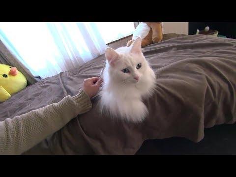 姫猫サラのブラッシング